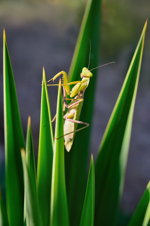 green mantis on the plant looking at you photo