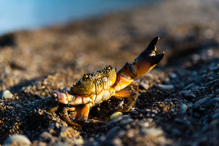 fighting stance: Crab on a sandy beach in fighting stance