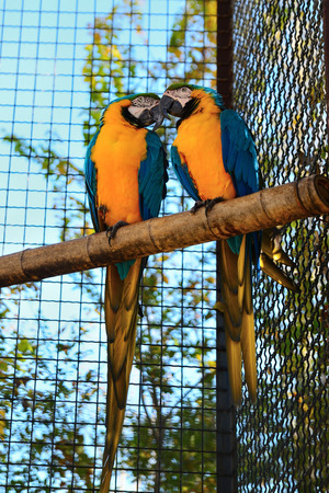 Two yellow-blue macaw parrots are sitting on a perch talking lovingly in a zoo Stockfoto