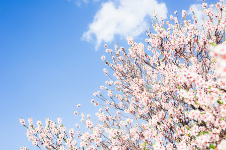 Branches of blossoming almond against the blue sky in spring on a sunny day in the garden Stockfoto