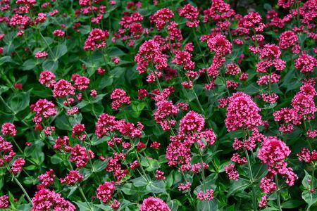 Red Valerian (Centranthus ruber) in garden in spring