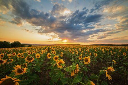 Bellissimo campo di girasoli durante il tramonto dorato in una sera d'estate