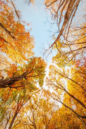 Beautiful autumn forest, bright red-yellow leaves, view up