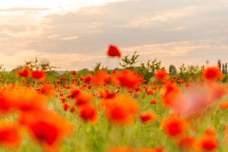 Booming poppies in a field in the evening warm sunlight