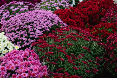 Bellissimo sfondo di diversi fiori di crisantemo