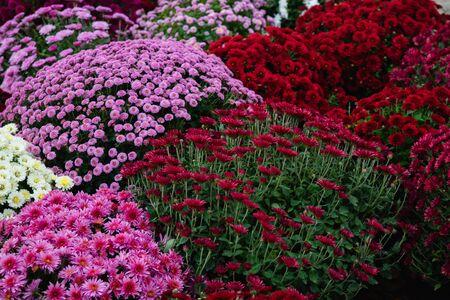 Mooi behang van verschillende chrysantenbloemen