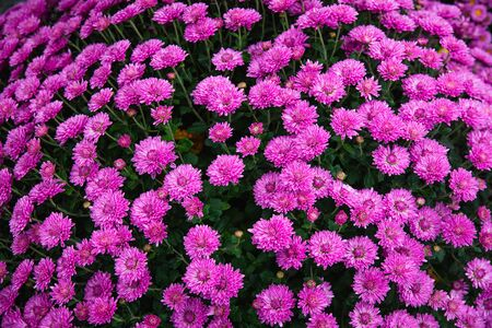 Beautiful flowers small chrysanthemums in autumn growing in pot, background picture