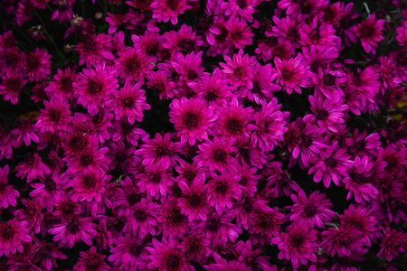 Beautiful flowers small chrysanthemums in autumn growing in pot, background picture Stockfoto - 134025114