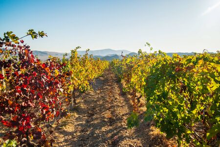 Juicy bright beautiful vine bushes in the vineyard in autumn on a sunny day Stockfoto - 134026057