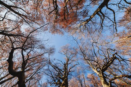 Large tall trees in late autumn in the forest, spreading branches against a blue sky, view up