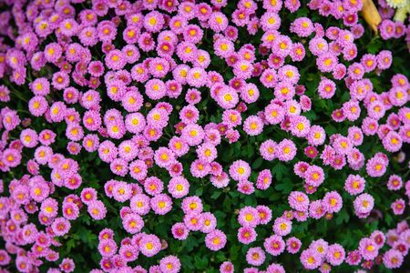 Beautiful flowers small chrysanthemums in autumn growing in pot, background picture Stockfoto - 134028070