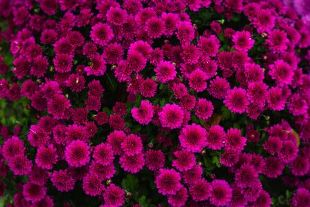 Beautiful flowers small chrysanthemums in autumn growing in pot, background picture Stockfoto - 134028069