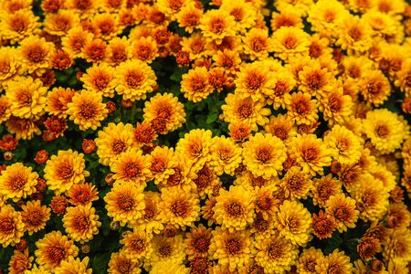 Beautiful flowers small chrysanthemums in autumn growing in pot, background picture Stockfoto - 134028071