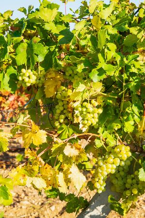 Juicy ripe grapes on the bushes in the vineyard on a sunny bright day Stockfoto - 134028076