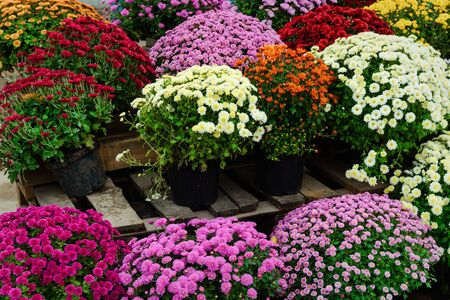 Many different bouquets of multicolored chrysanthemums, small flowers grow in a pots Stockfoto - 134847259