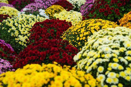 Beautiful Wallpaper of different chrysanthemum flowers Stockfoto - 134847191