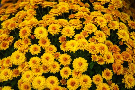 Beautiful flowers small chrysanthemums in autumn growing in pot, background picture Stockfoto - 134847192