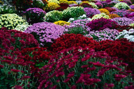 Beautiful Wallpaper of different chrysanthemum flowers Stockfoto - 134847193