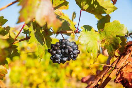 Juicy ripe grapes on the bushes in the vineyard on a sunny bright day Stockfoto - 134847196