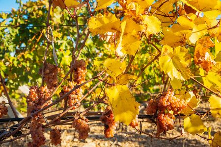 Juicy ripe grapes on the bushes in the vineyard on a sunny bright day Stockfoto - 134847198
