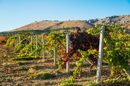 Juicy bright beautiful vine bushes in the vineyard in autumn on a sunny day Stockfoto - 134847202