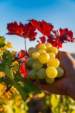 Juicy ripe grapes on the bushes in the vineyard on a sunny bright day Stockfoto - 134847207