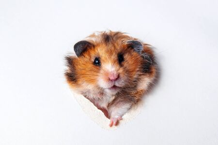 Syrian red-haired fluffy funny hamster gnaws a hole in paper close-up