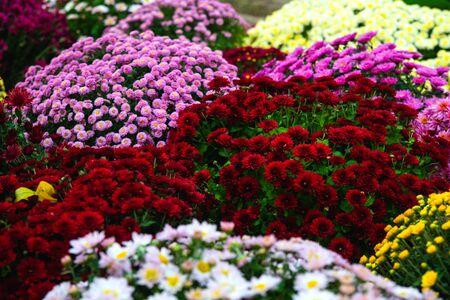 Beautiful Wallpaper of different chrysanthemum flowers