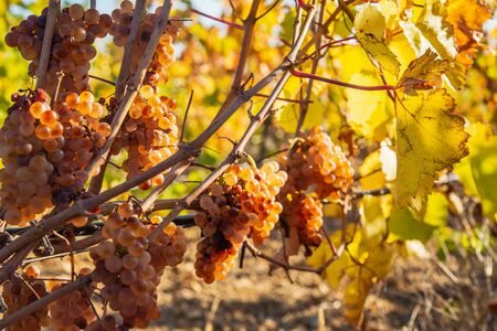 Juicy ripe grapes on the bushes in the vineyard on a sunny bright day