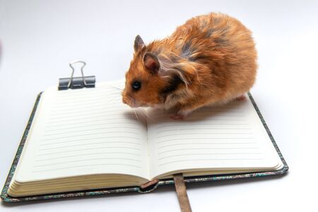 Red-haired home Syrian hamster stands on an open notebook on a table