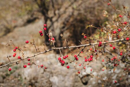Ripe hawthorn berries on branches in the wild