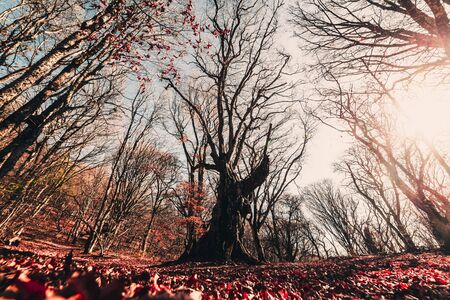 Beautiful landscape, a large tree in the autumn forest in warm colors, view from below, shot on a wide-angle lens