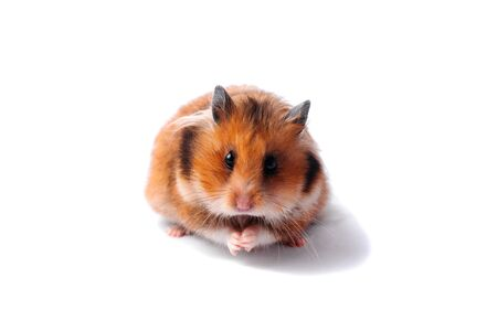 Red Syrian hamster on a white background Stockfoto - 137447786