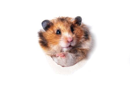 Funny red Syrian hamster peeps through paper hole
