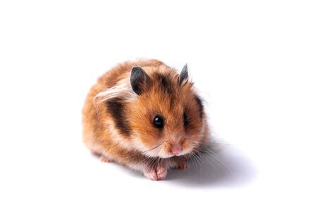 Red Syrian hamster on a white background eats carrots Archivio Fotografico