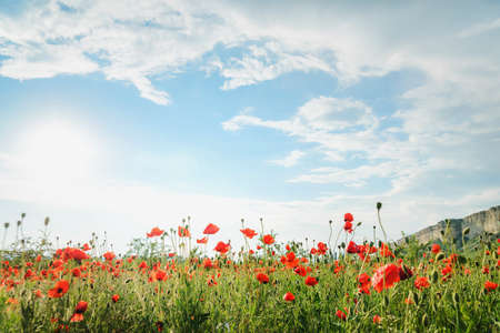 Poppy field against the background of rocky mountains, panoramic view. Belaya Skala, Belogorsk, Crimea