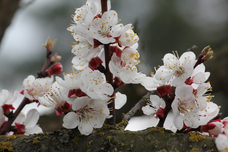 Cherry flowers on branch tree at the springtime in sunny day