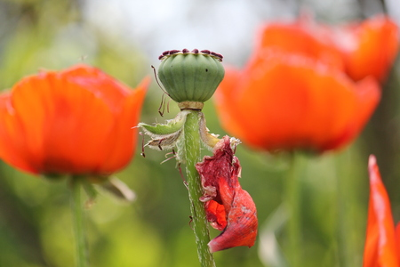 Green poppy in the field Banque d'images