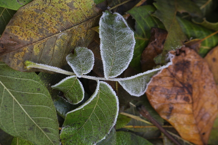 The frost on the leaves