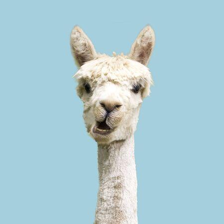witte alpaca op blauwe achtergrond Stockfoto