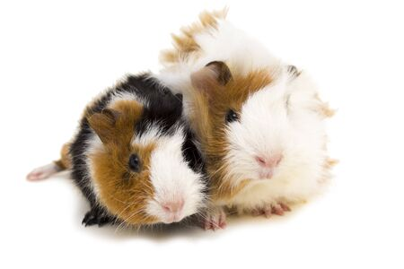Two small guinea pigs isolated on white