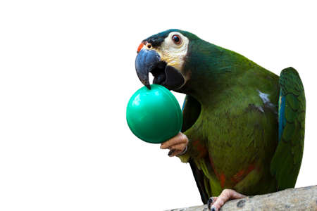 Macaw Maracana. Big green parrot isolated on white