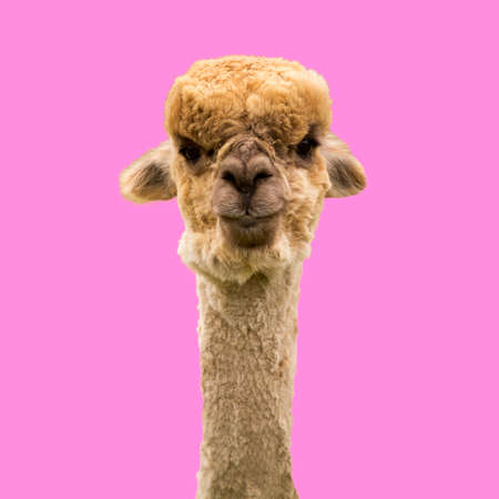 Funny brown alpaca on pink background 스톡 콘텐츠