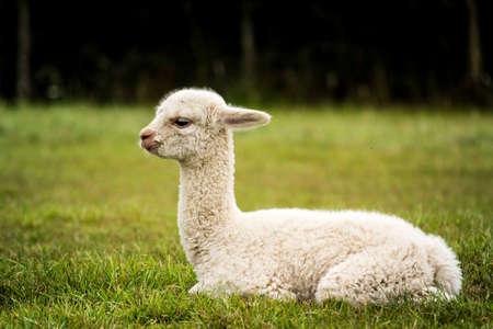 White alpaca baby sitting on the grass