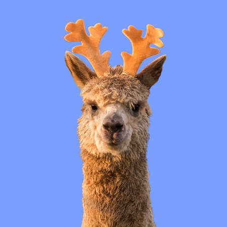 Funny alpaca llama with reindeer horns on blue Christmas background.