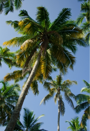 Coconut trees, palms against the sky and green palm leaves photo