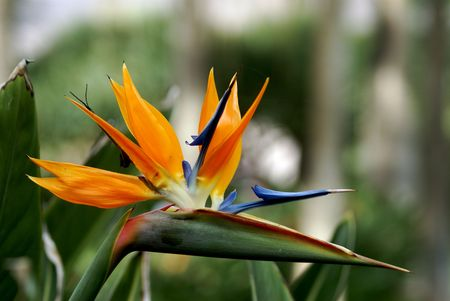 bloom bird of paradise: Bird of Paradise in full bloom in Tenerife Stock Photo