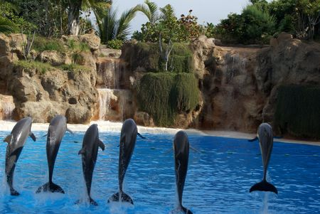 unison: Dolphins in Tenerife, the Canary Islands jumping in unison Stock Photo