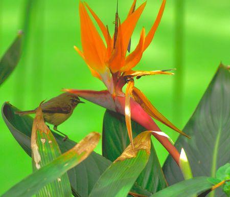 Fel oranje Bird of Paradise met vogel op groene achtergrond