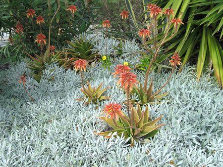 aloe flower: Red Aloe Flower Garden with silver plants